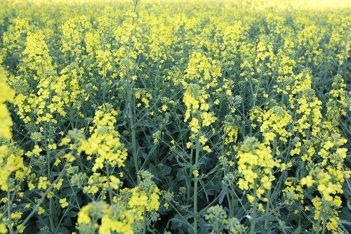 flower  field  plant