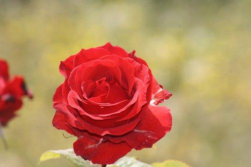 flower  nature  rosebush