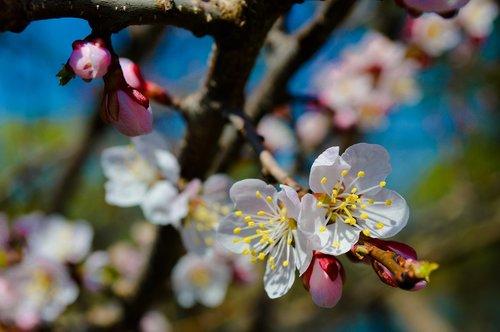 flower  tree  spring