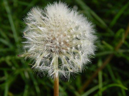flower  dandelion  chmíří