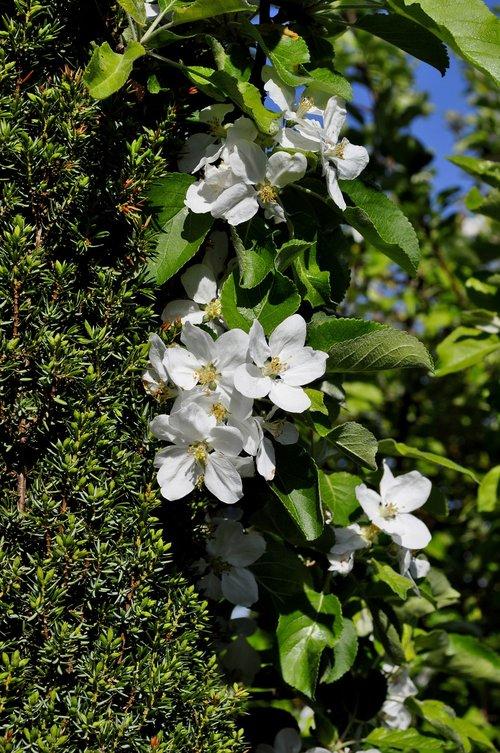 flower  apple  spring