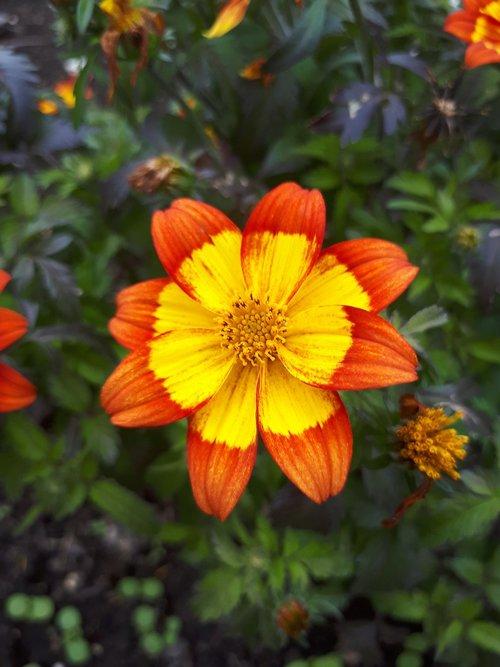 flower  latvia  nature