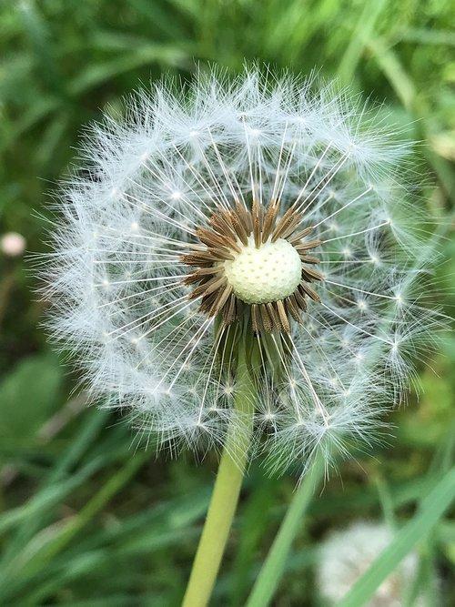 flower  dandelion  nature