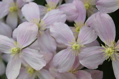 flower  clematis  blossom