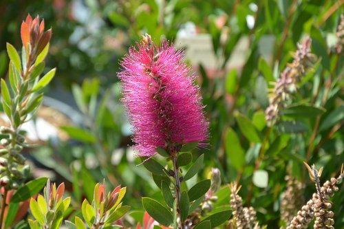 flower  pink flower  ears flower