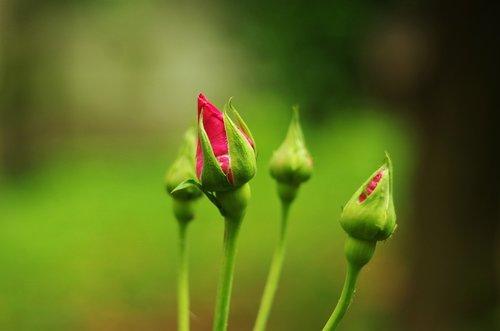 flower  rosa  rose