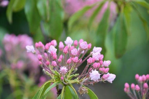 flower  pink  kalmia latifolia