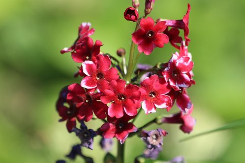 flower  phlox  red flowers