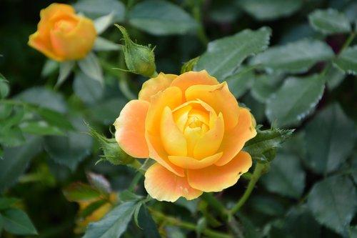 flower  pink flowers  rosebush