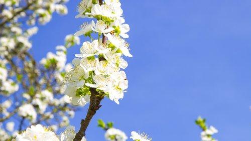 flower  cherry  plum