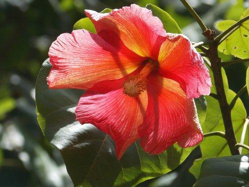 flower  maga  puerto rico