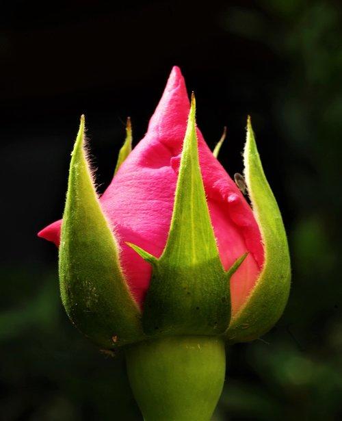 flower  rosa  boccolo