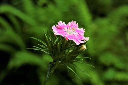 flower  carnation  carnation pink