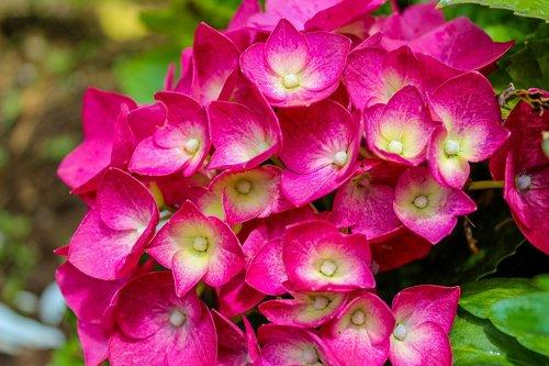 flower  hortensia  hydrangea