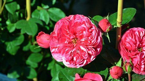 gėlė, išaugo, rožinė rožė, išaugo žydėjimas, pobūdį, žiedas, žydėjimas