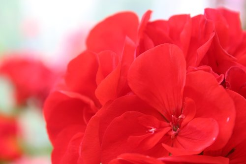 flower  red flower  romance