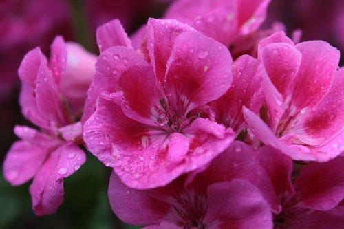 flower  pink  pink flowers