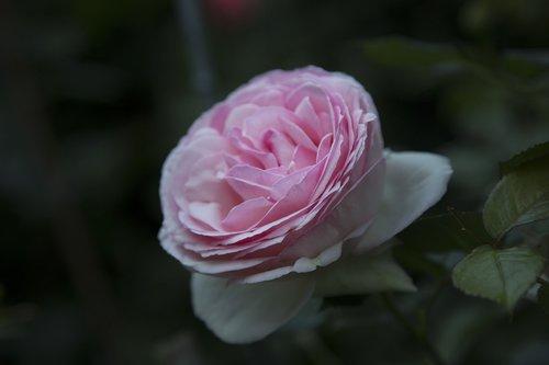 flower  rosa  garden