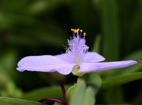 gėlė, žiedas, žydi, augalų, pobūdį, violetinė, Iš arti, Sodas, švelnus, meistriškos, vasara, vasaros gėlės, atvirukas, atvirukas, makro, Violetinė, violetinė gėlė