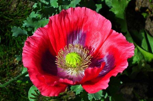 flower  poppy garden  nature