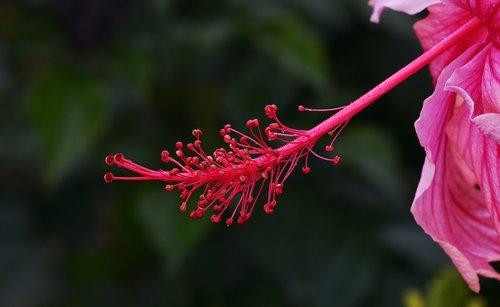 flower  hibiscus  stigma