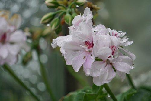 flower  garden  geranium