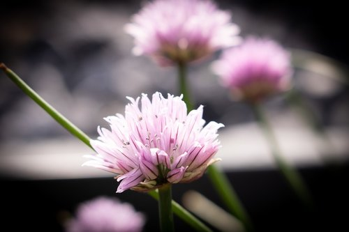flower  pink  natura