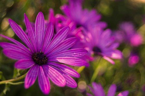 flower  daisy  purple daisy