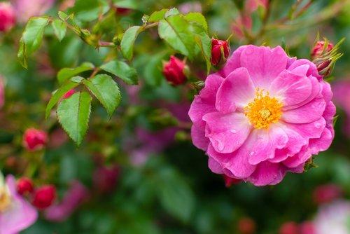 flower  pink  drop