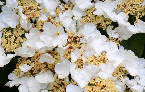 flower flowers hydrangea