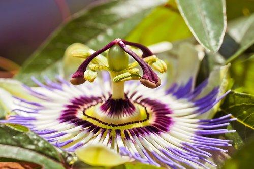 gėlė, aistra gėlė, Passiflora, žiedas, žydi, augalų, piestelė, pobūdį, violetinė gėlė, violetinė, Sodas, Violetinė, lapai, žiedlapiai