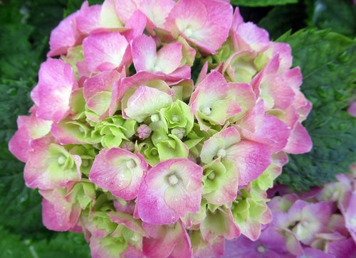 flower  hydrangea  pink