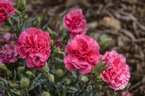 flower  carnation  pink carnation