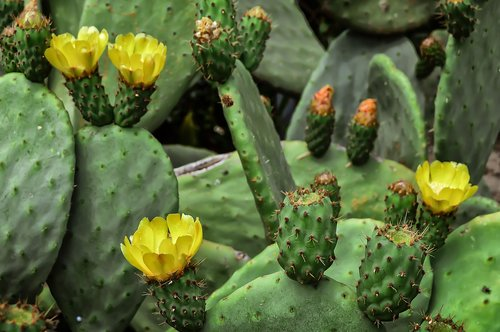 flower  prickly pear  fruit