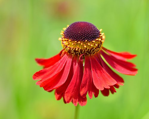 flower  red  corolla