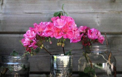 flower  carnation  clove pink