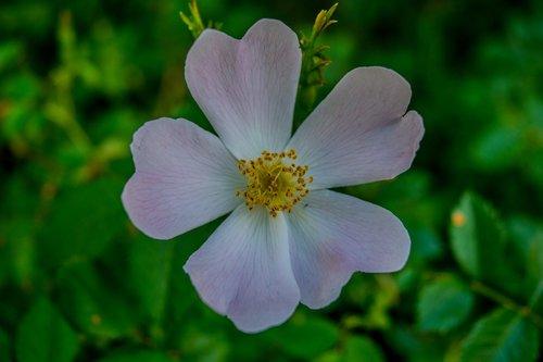 flower  campestre  macro