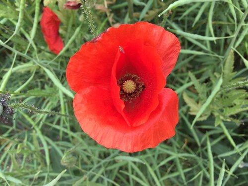 flower  poppy  nature