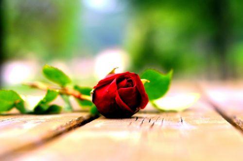 flower rosa nature