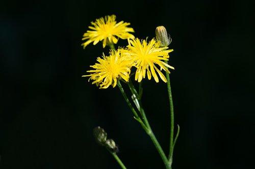 flower  yellow  flowers