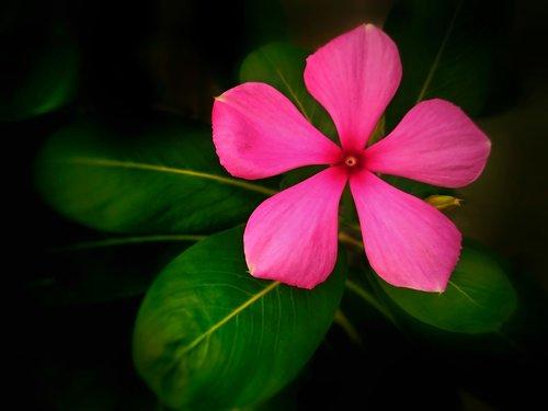 flower  madagascar periwinkle  medicinal plant