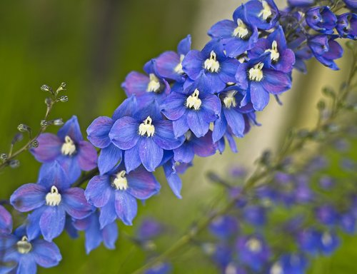 flower  delphinium  blue