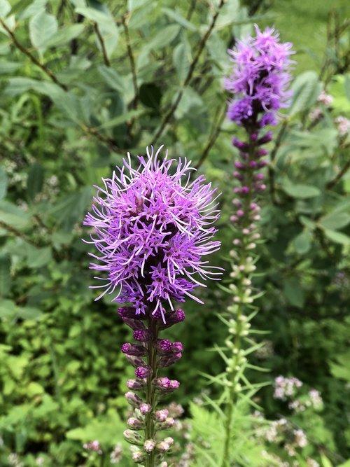 flower  purple  garden