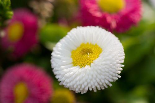 gėlė,gamta,geltona,žydėti,žiedas,žydėti,augalas,raudona,rožinis,balta,makro,spalvinga