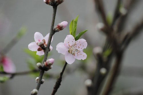 flower  peach tree  spring