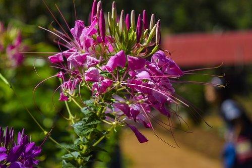 gėlė, pobūdį, mondulkiri, žydi, žiedas, augalų, Khmer