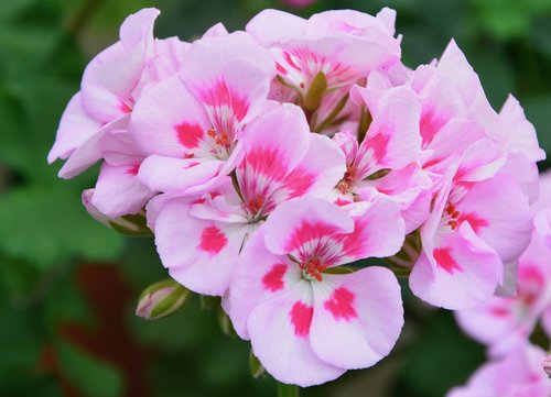 flower  flower of geranium  geranium pink color