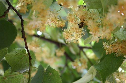 flower  tea  summer