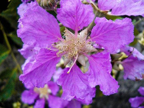 flower  hibiscus  purple