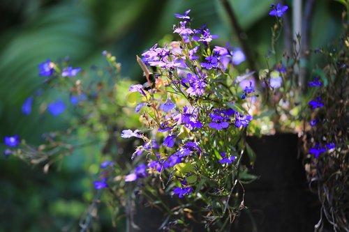 flower  lobelia  garden